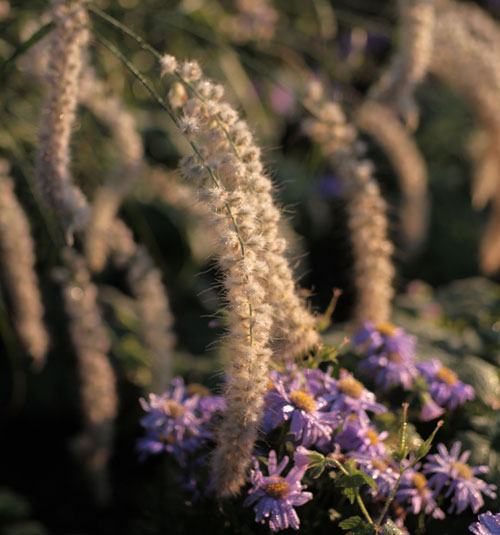 Pennisetum orientale 'Tall Tails' and Aster x frikartii 'Jungfrau'