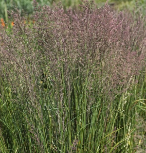 Calamagrostis x acutiflora 39 karl foerster 39 hardy for Hardy decorative grasses