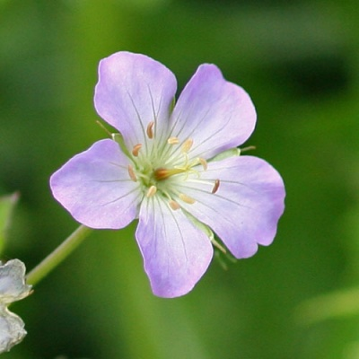 Geraniums for Damp Shade