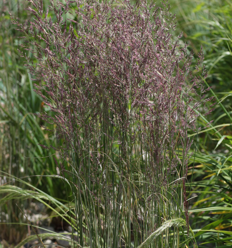 Calamagrostis x acutiflora 39 overdam 39 hardy geraniums for Hardy tall ornamental grasses