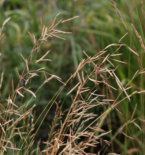 Brachypodium pinnatum hardy geraniums ornamental for Hardy decorative grasses