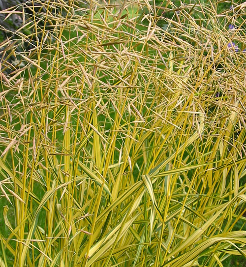 Bromus inermis 39 skinner 39 s gold 39 hardy geraniums for Yellow ornamental grass