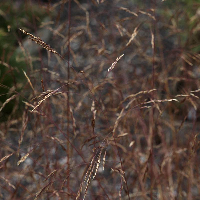 Deschampsia cespitosa 39 yunnan 39 hardy geraniums for Hardy decorative grasses