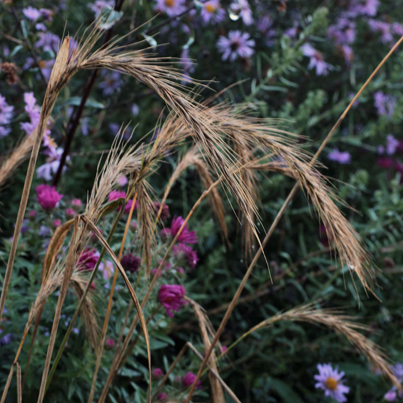 Elymus canadensis hardy geraniums ornamental grasses for Hardy tall ornamental grasses