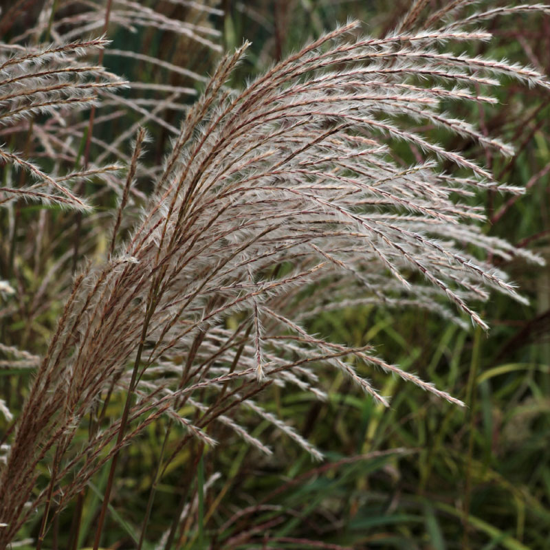 Miscanthus sinensis 39 gearmella 39 hardy geraniums for Hardy decorative grasses