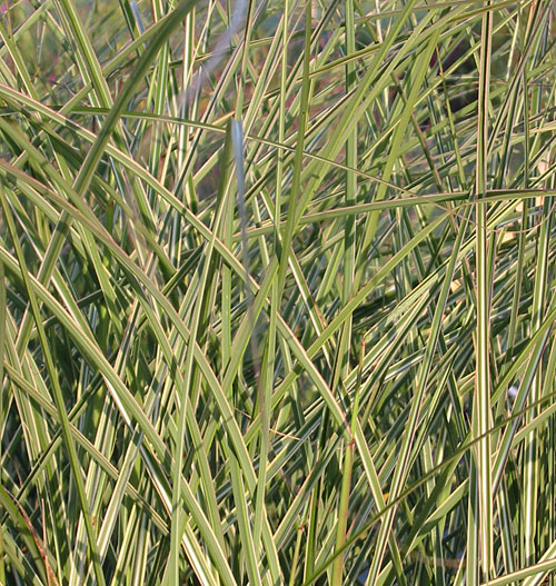 Miscanthus sinensis 39 morning light 39 hardy geraniums for Hardy ornamental grasses