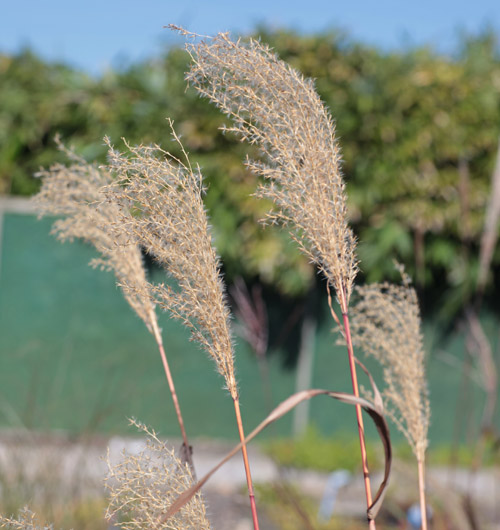 Miscanthus sinensis 39 nishidake 39 hardy geraniums for Hardy tall ornamental grasses