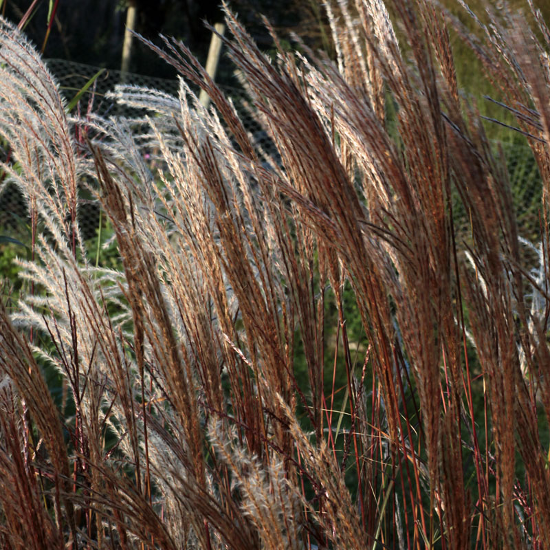 Miscanthus sinensis 39 silberspinne 39 hardy geraniums for Hardy ornamental grasses