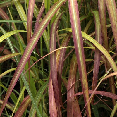 Miscanthus 'Flammenmeer'
