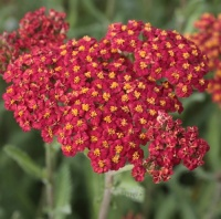 Achillea and Stipa Collection
