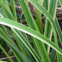 Carex pendula 'Cool Jazz'