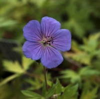 Geranium 'Blogold' BLUE SUNRISE