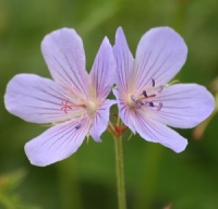 Geranium 'Blue Cloud'
