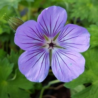 Geraniums for late summer