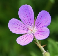 Geraniums for Meadow or Prairie