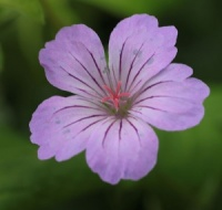 6 Geraniums for Dry Shade