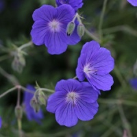 6 Geraniums for Meadow or Prairie
