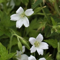 Geranium x oxonianum 'White Stripes'