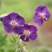 Geranium phaeum 'Night Time'