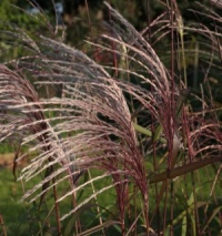 Miscanthus 'Memory'