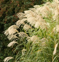 Beginners Miscanthus Collection