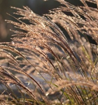 5 Different Miscanthus