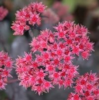 Sedum 'Chocolate'