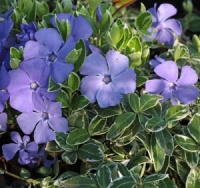 6 Perennials for Dry Shade