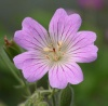 Geranium 'Chantilly'