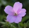 Geranium x oxonianum 'Music from Big Pink'