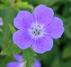 Geranium sylvaticum 'Mayflower'