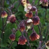 Geum 'Rusty Young'