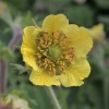 Geum 'Stacy's Sunrise'