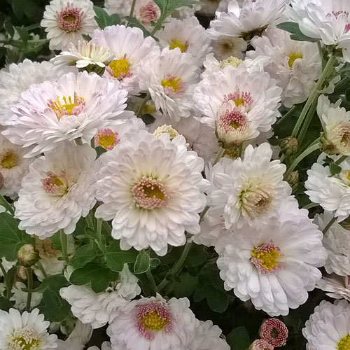 Chrysanthemum 'Purleigh White'