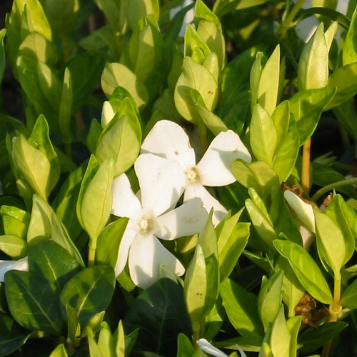 Vinca minor f. alba Beth Chatto Form