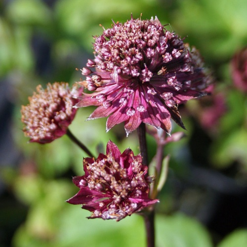 Astrantia major Gill Richardson Group