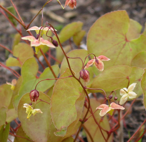 Epimedium 'Black Sea'
