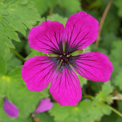 Geranium 'Orkney Flame'