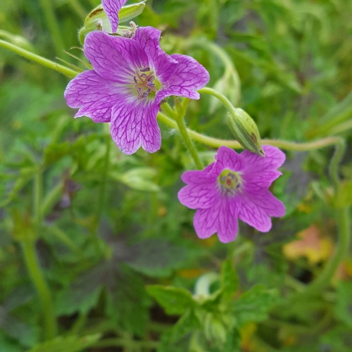 Geranium x oxonianum 'Something Special'