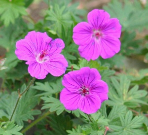 Geranium 'Tiny Monster'