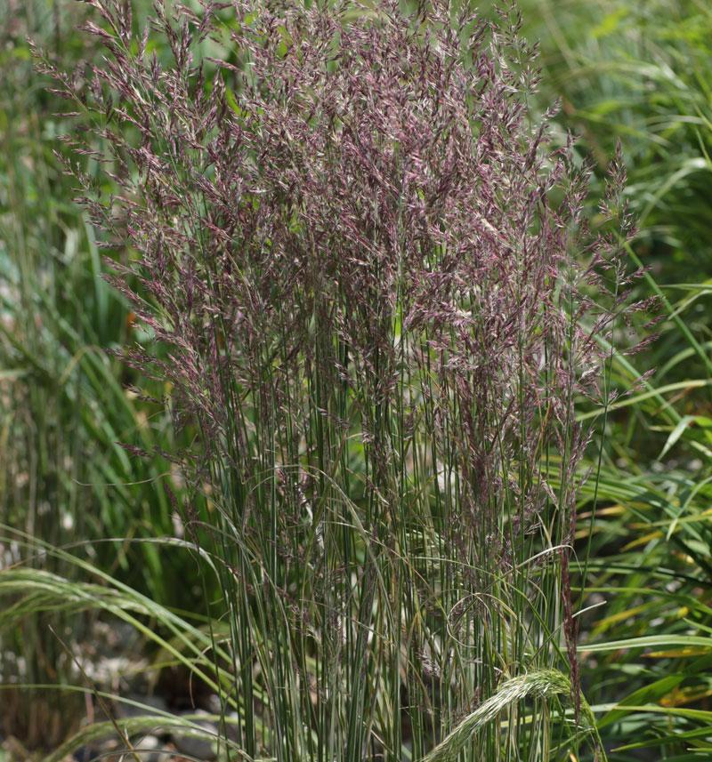 Calamagrostis x acutiflora 39 overdam 39 hardy geraniums for Hardy grasses for the garden