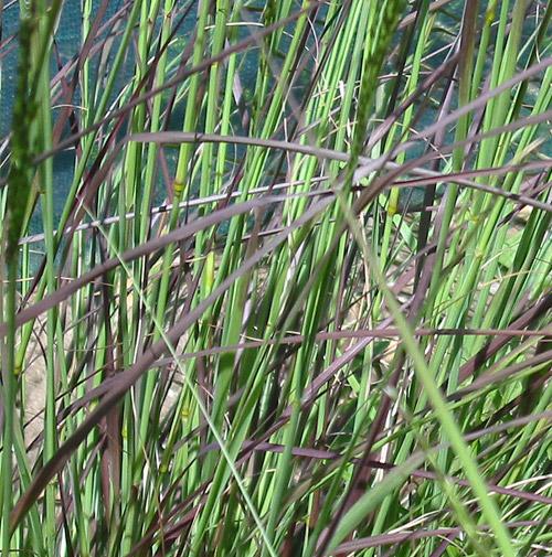 Eragrostis curvula 39 totnes burgundy 39 hardy geraniums for Hardy perennial grasses