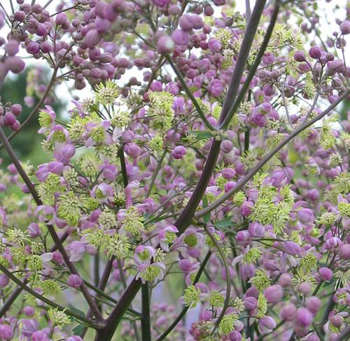Thalictrum 39 elin 39 hardy geraniums ornamental grasses for Thalictrum rochebrunianum rhs