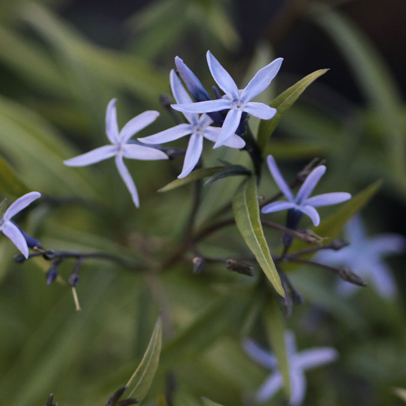 Amsonia elliptica
