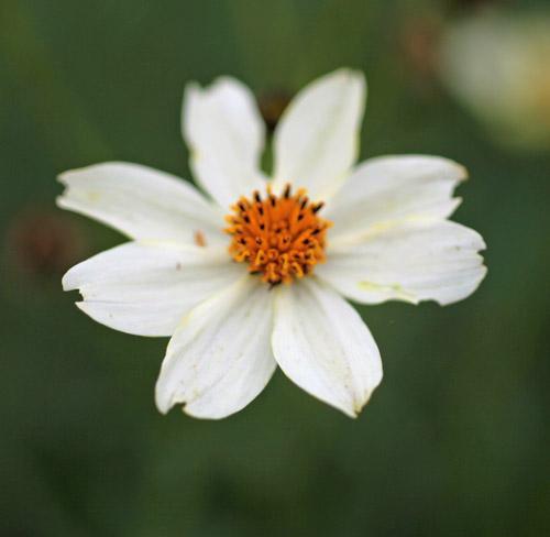 Bidens aurea white flowered hardy geraniums ornamental grasses bidens aurea white flowered mightylinksfo