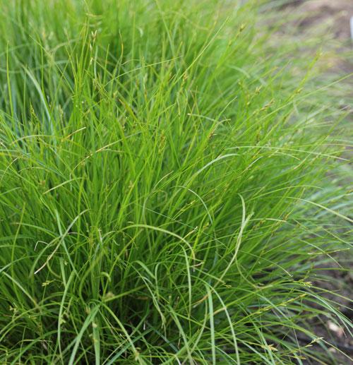 Carex remota hardy geraniums ornamental grasses and new for Hardy perennial ornamental grasses