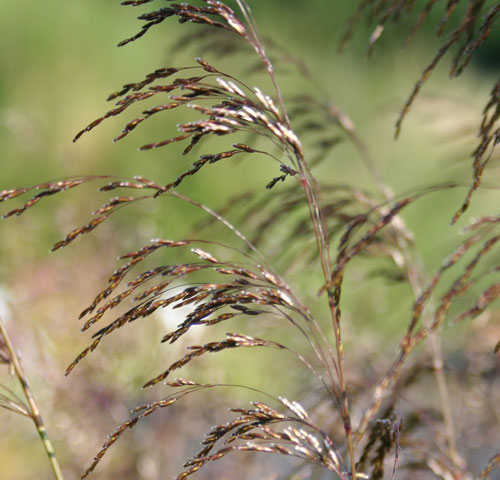 Grasses for midsummer