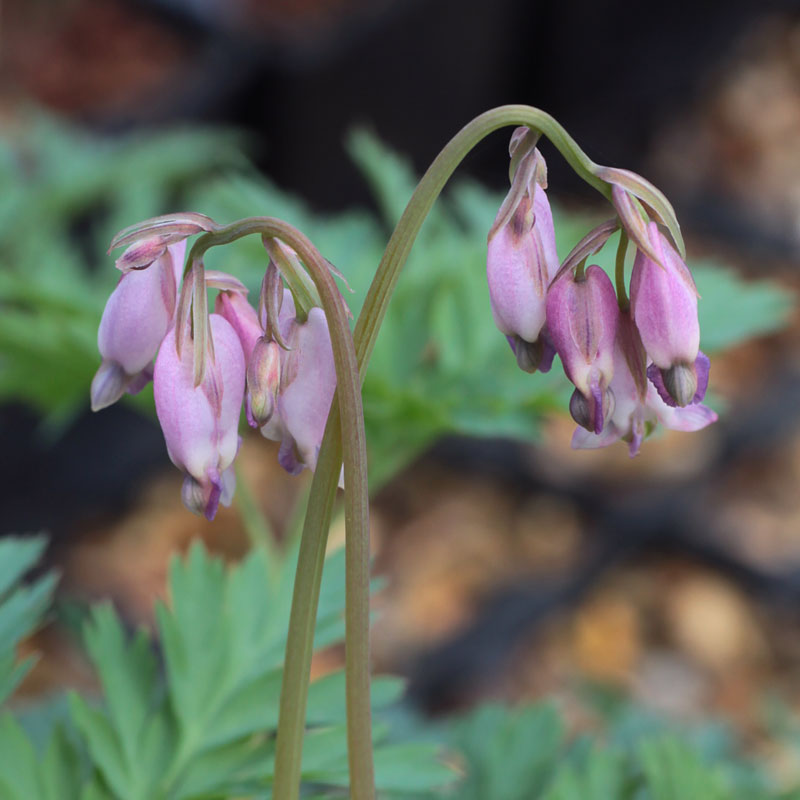 Dicentra 'Spring Morning'