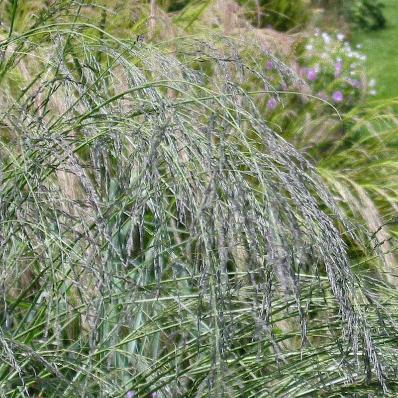 eragrostis curvula hardy geraniums ornamental grasses