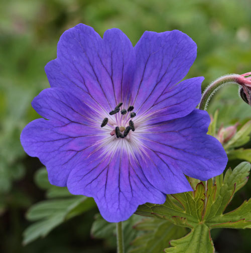Geranium himalayense 'Devil's Blue'